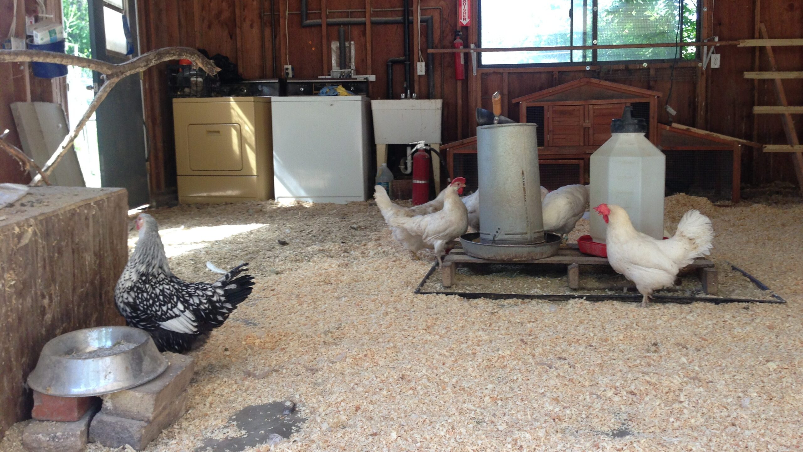 chickens in a converted garage
